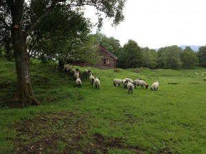 Sheep Grazing in Meadow